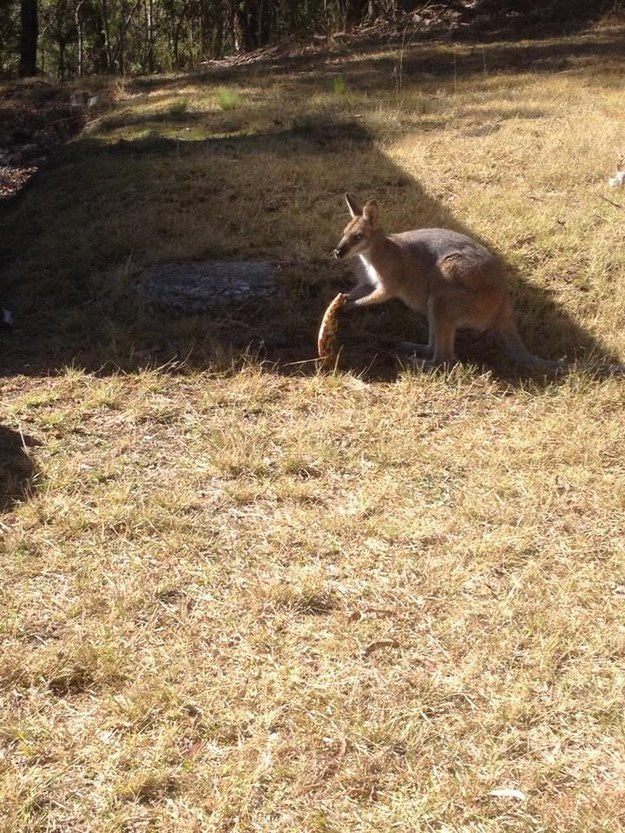 This Wallaby Stole A Pizza And Now We Have A Hundred Questions