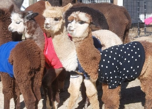 Baby Alpacas In Sweaters: A Love Story