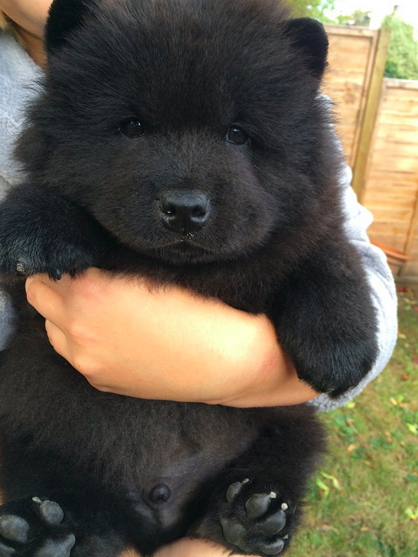 This Ridiculously Cute Puppy Has Been Stolen From Its Owners