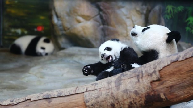 Giant Panda Triplets Reunited With Mom Who Just Wanted To Hug Her Cubs