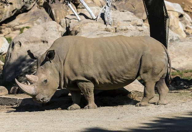 There Are Now Just 5 Northern White Rhinos Left In The World